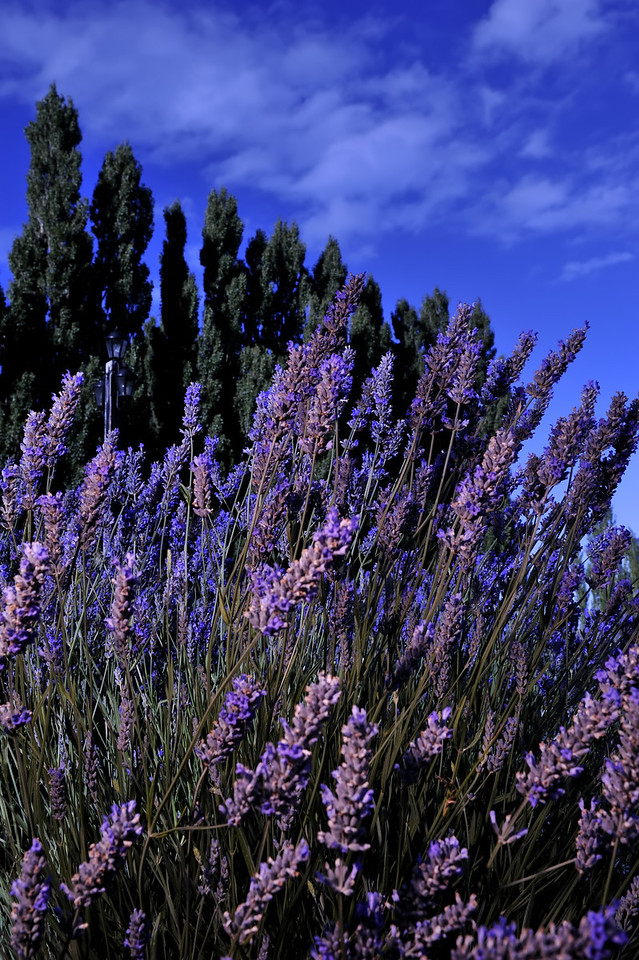 Lavender near El Calafate
