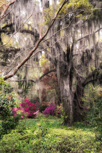 The Spanish Moss Tree_DSC9198