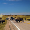 Bison herd - Wind Cave National Park