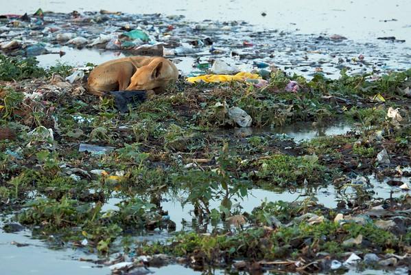 A dog sleeps among the trash on the Yamuna River, Agra.