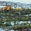 A dog sleeps among the trash on the Yamuna River, Agra.