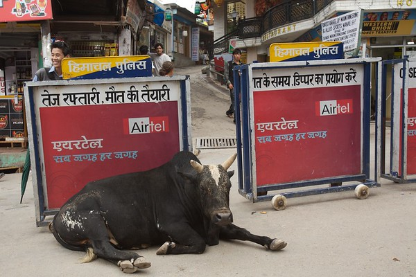 A bull relaxes in the street.