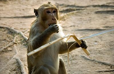 Monkey eating-Near reflecting pool at Angkor Wat-Cambodia