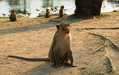 Monkeys beside reflecting pool-Angkor Wat-Cambodia