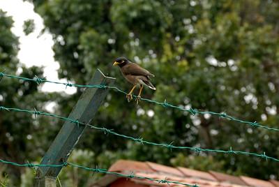 Bird on barbed wire-Street Scene-Melaka-Malacca Town-Malaysia
