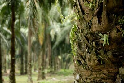 Oil Palm Plantation-Malaysia