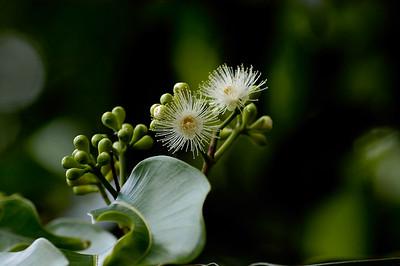 White flower blossoms-Latex Plantation-Malaysia