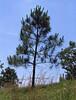 pine_AL1