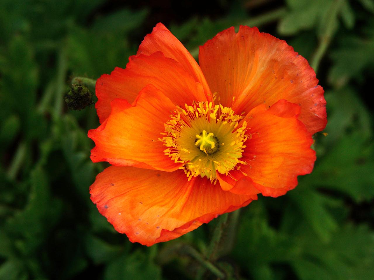 33Iceland Poppy