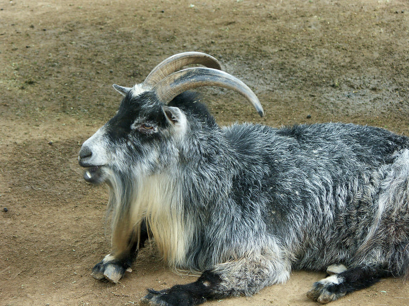 62 Goat