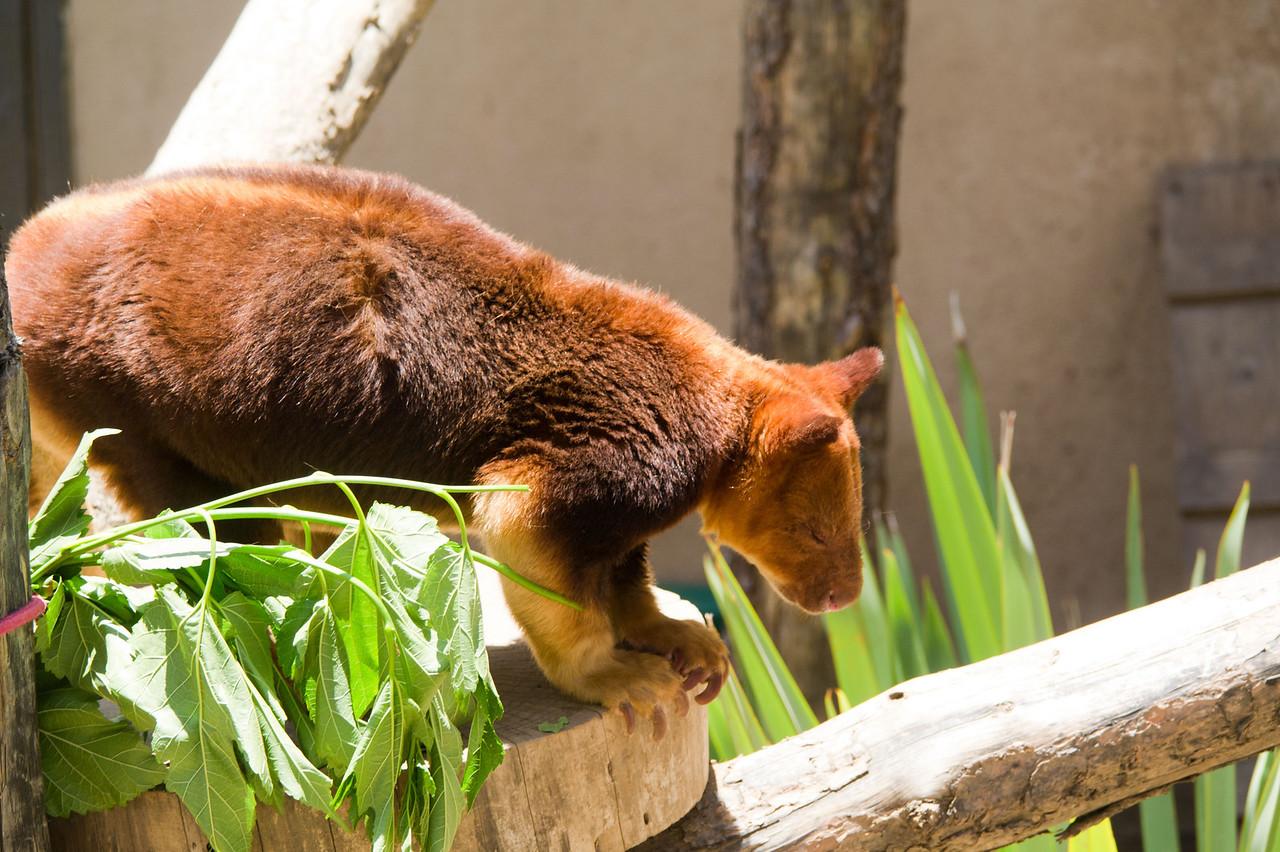 1113 Tree Kangaroo