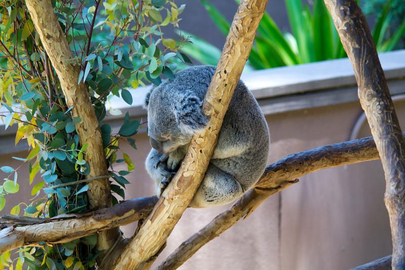 1109 Koala Bear