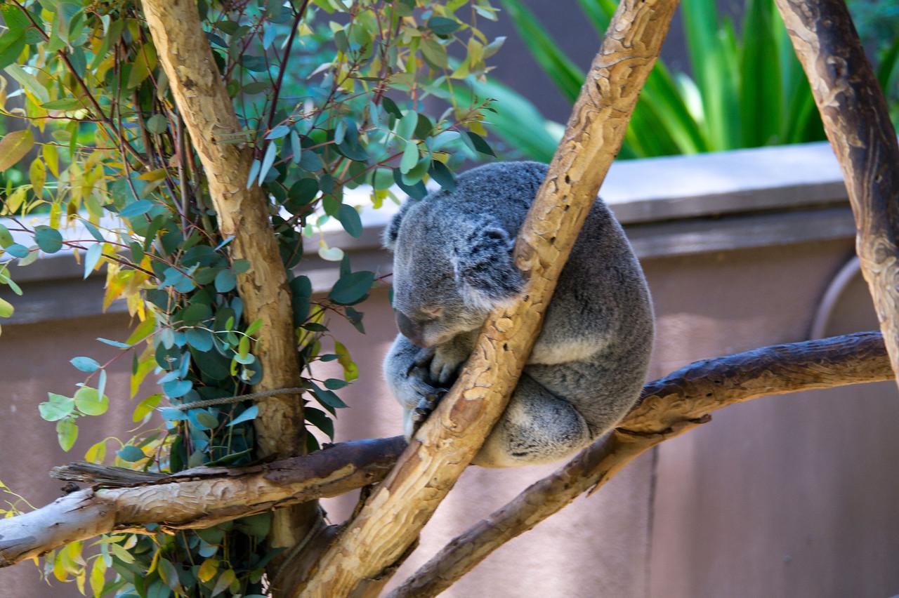1110 Koala Bear