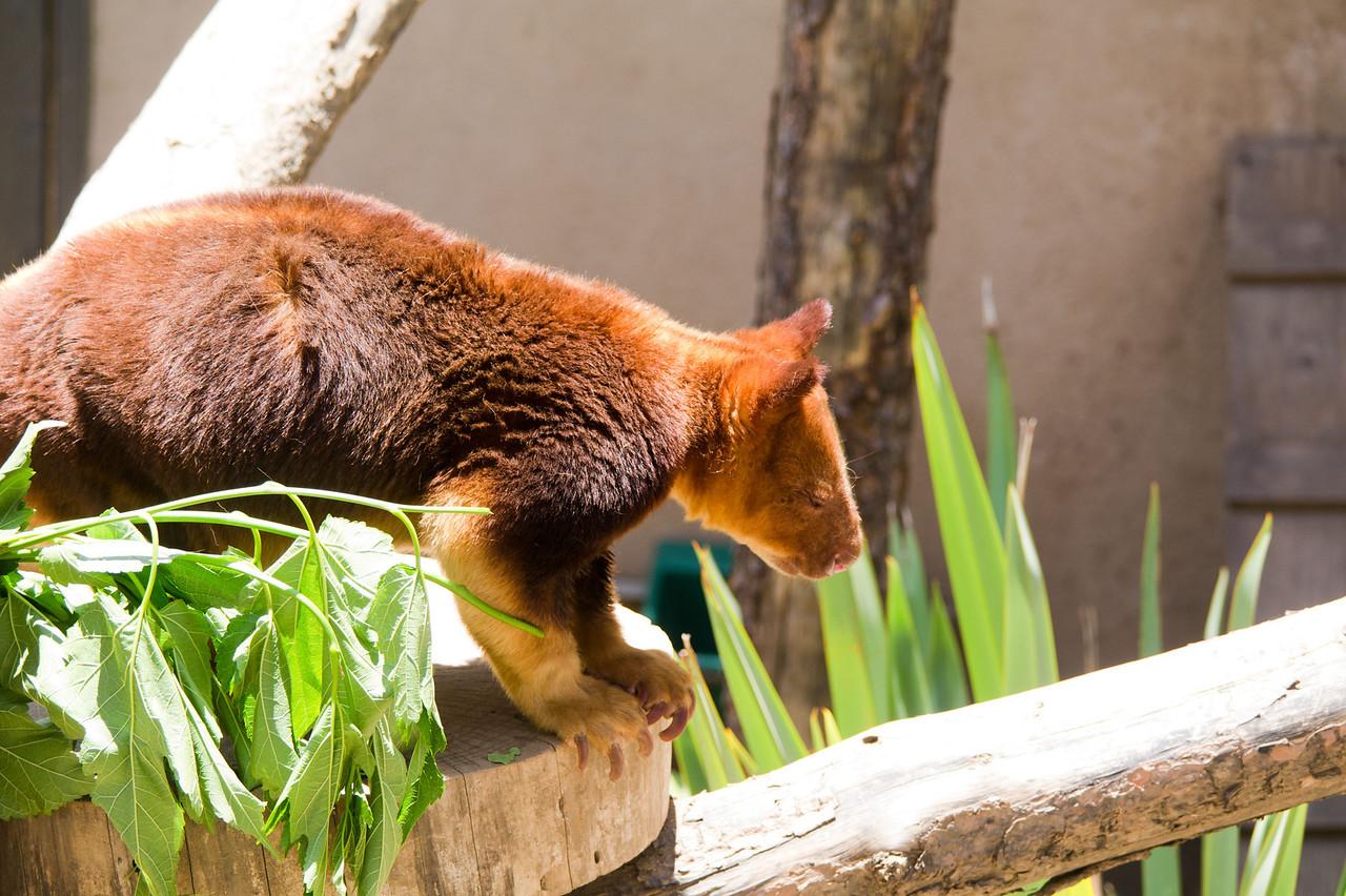 1112 Tree Kangaroo