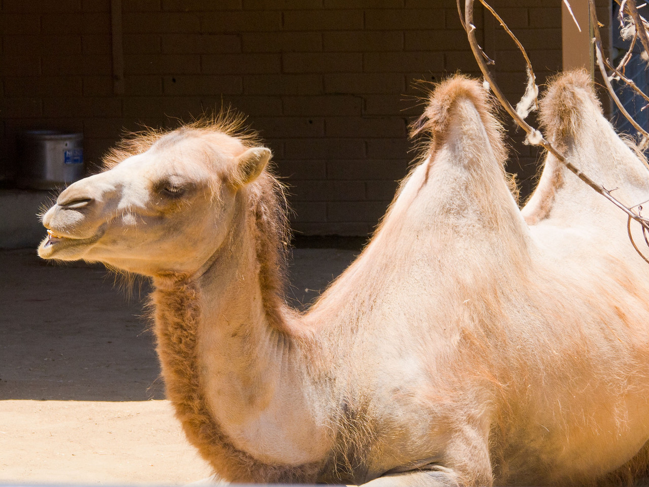 116 Bactrian Camel