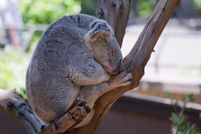 1111 Koala