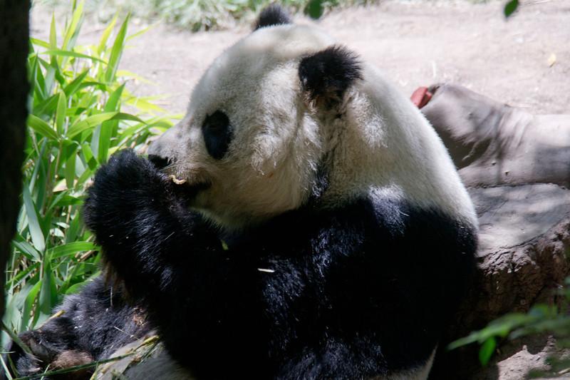 1118 Panda Bear