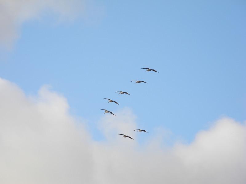 1292 Pelicans