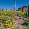 wildflower bloom with saguaro catus.  Ajo Mountain drive,  Organ Pipe Catus NM, Arizona.