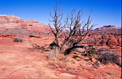 Dead tree and sandstone.  Coyote Buttes, Paria Plateau,  Arizona.