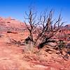 Dead tree and sandstone.  Coyote Buttes, Paria Plateau,  Arizona.