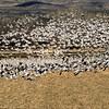 Snow geese take flight.  Bosque Del Apache,  New Mexico.