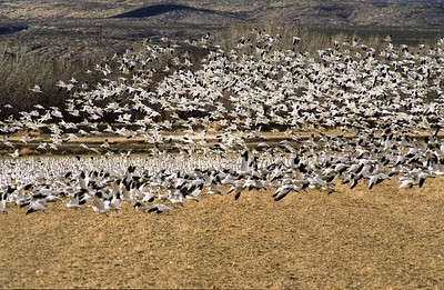 Snow geese take flight.  Bosque Del Apache,  New Mexico.