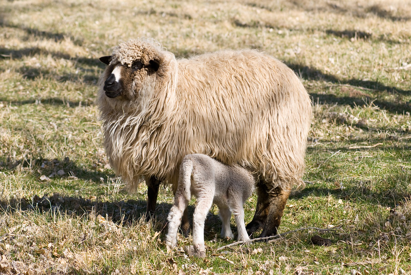 Ewe and lamb.   Gila Hot Springs, New Mexico.