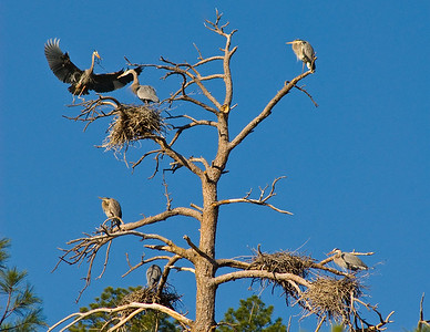 Nesting Great Blue Heron's.  Gila Hot Springs,  New Mexico.