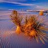 Yucca in afternoon light.  White Sands NP, white sands, New Mexico.