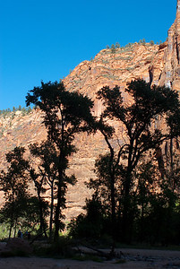Silhouetted trees with sandstone wall in background.  Zion NP, Utah.