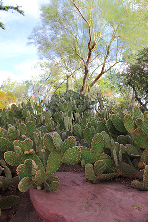 Lots of prickly pears  - at a cactus botanical garden in Las Vegas. September 2011.