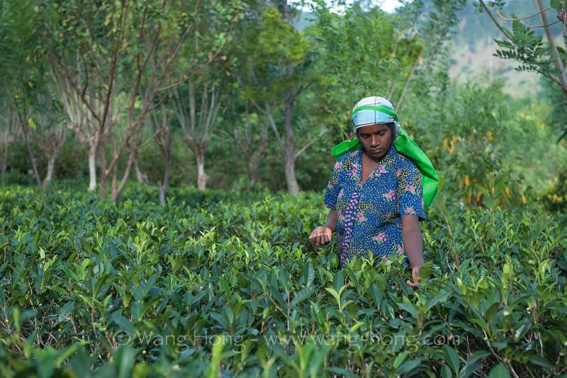Tea plucking at AMBA Estate in Bandarawela.