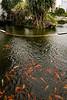 Koi pond outside our hotel Cinnamon Bay