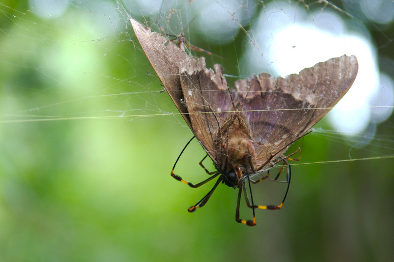 Orb Weaver Spider Eating Giant Moth