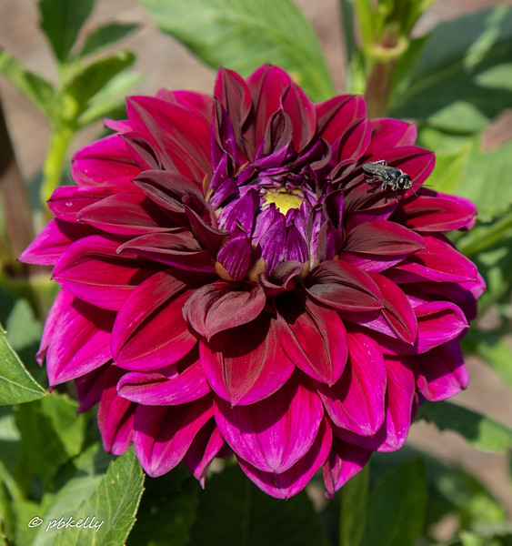This little bee likes this red dahlia.