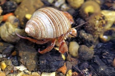 Tidal Pool Hermit Crab