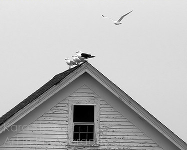 Gulls on Shack