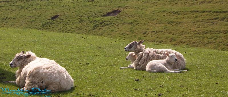 more sheep.