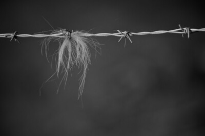 Hair from an Aberdeen Angus caught in barbed wire
