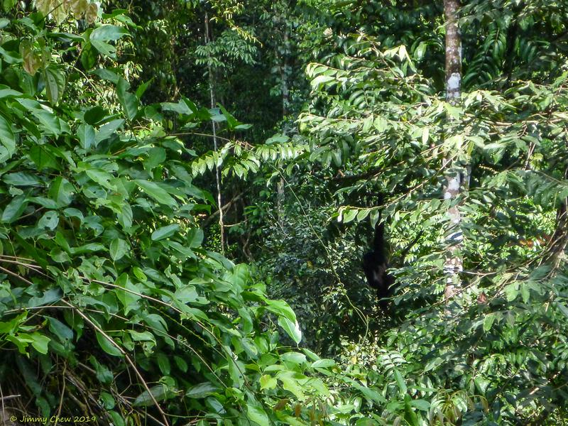 Spot the siamang (black-furred gibbon)