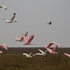 Roseate Spoonbills and White Ibises in flight