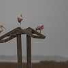 Roseate Spoonbills on a structure