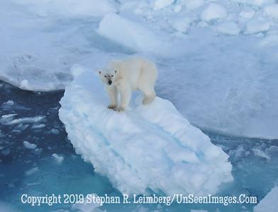 polar bear up on flow 110817_3789