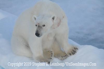 Polar Bear Squatting 110817_4627