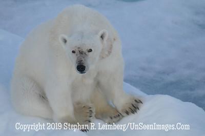 Polar Bear Squatting 110817_3819