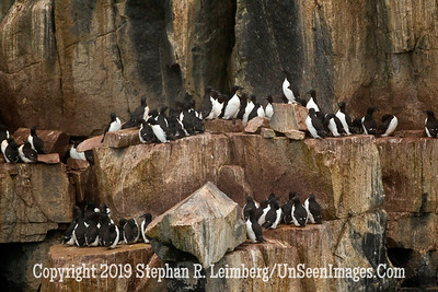 Guillemots on Ledge 2 Brunnick's Guillemots_110815_2019