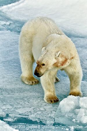 Polar Bear Standing X 110816_3391