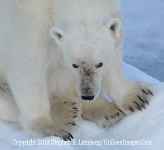 polar bear head & claws 110817_3811