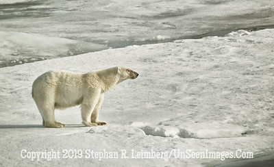 Big Polar Bear Standing 110816_3584
